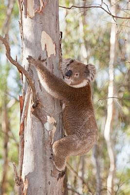 Koala Bear Poster by Ashley Cooper