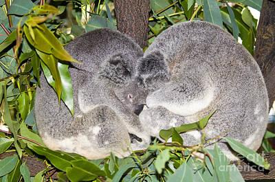 Koala Bears Poster by William H. Mullins