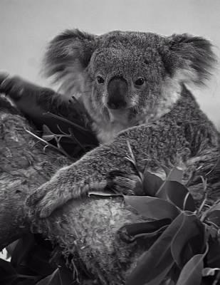 Koala Poster by Chris Flees