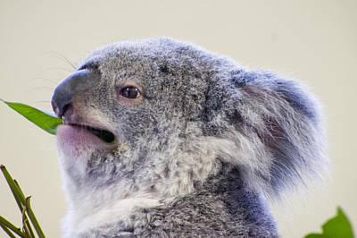 Koala Close Up Poster by Chris Flees