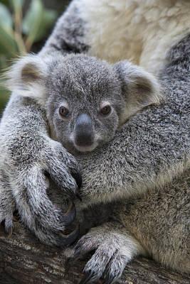 Koala Joey In Mothers Arms Australia Poster by Suzi Eszterhas