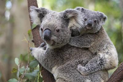 Koala Joey On Mothers Back Australia Poster by Suzi Eszterhas