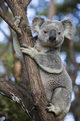Koala Male Australia Poster by Suzi Eszterhas