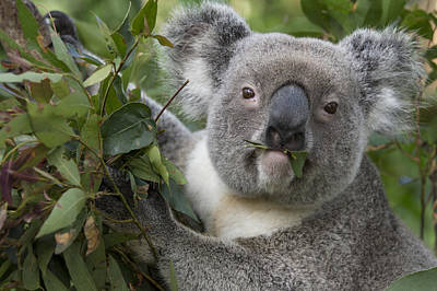 Koala Male Feeding Australia Poster by Suzi Eszterhas