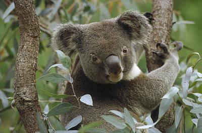 Koala Male In Eucalyptus Australia Poster by Gerry Ellis