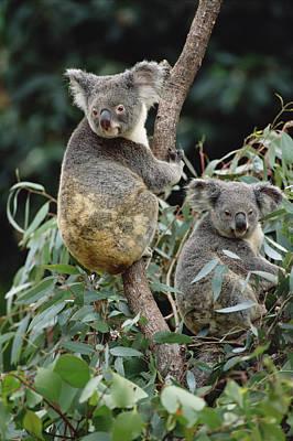 Koala Males Australia Poster by Gerry Ellis