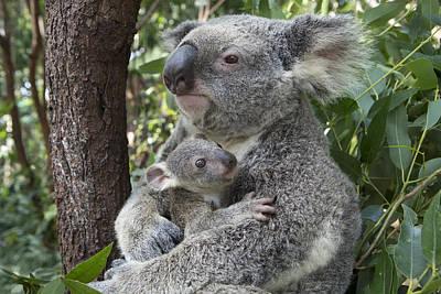 Koala Mother Cuddling  Joey Australia Poster by Suzi Eszterhas