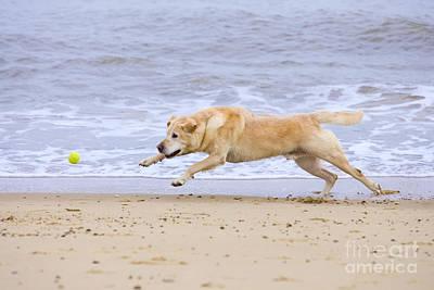 Labrador Dog Chasing Ball On Beach Poster by Geoff du Feu