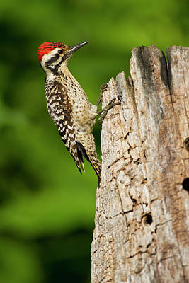 Ladder-backed Woodpecker (picoides Poster by Larry Ditto
