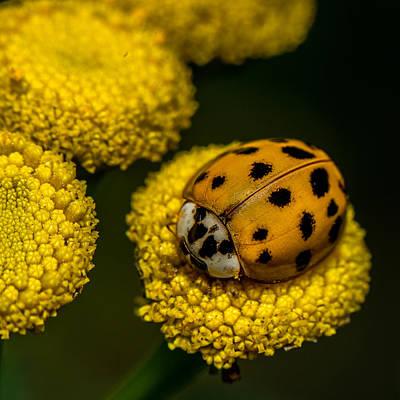 Lady Bug Poster by Paul Freidlund