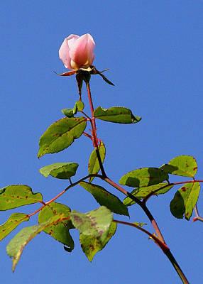 Last Rose Of Summer Poster by Paula Tohline Calhoun