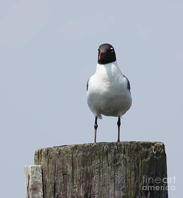 Laughing Gull At Captree Boat Basin Poster by John Telfer