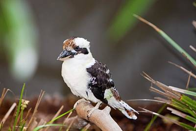 Laughing Kookaburra Poster by Ashley Cooper