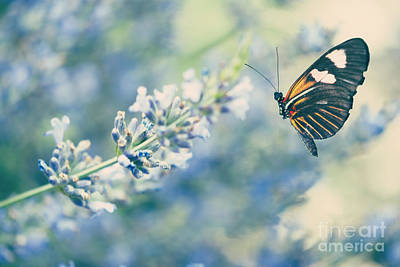 Lavender And The Butterfly Poster by Juli Scalzi