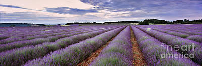 Lavender Fields Poster by Rod McLean