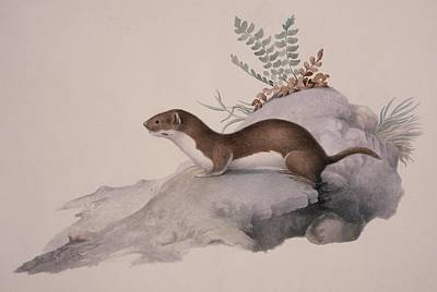 Least Weasel, 19th Century Poster by Science Photo Library