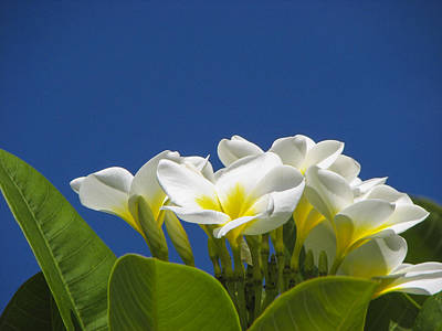 Lemon Drop Plumeria Poster by Carolyn Marshall