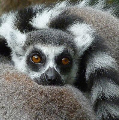 Lemur Leisure Time Poster by Margaret Saheed