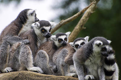 Lemurs Close Up Poster by Chris Flees