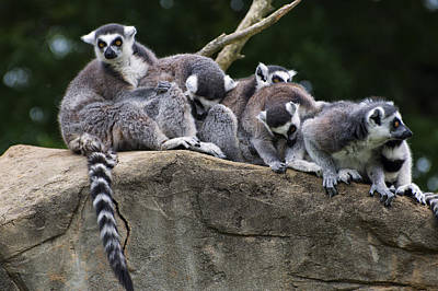 Lemurs On A Rock Poster by Chris Flees