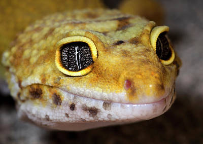 Leopard Gecko Close-up Full Face Poster by Nigel Downer