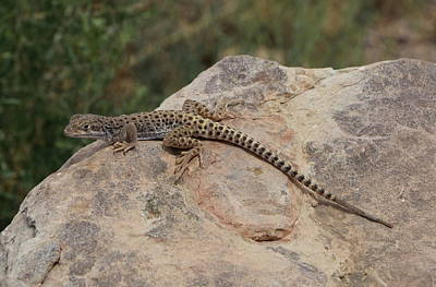 Leopard Lizard On A Stone Poster by Christiane Schulze Art And Photography