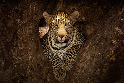 Fangs Poster featuring the photograph Leopard Resting On A Tree At Masai Mara by Ozkan Ozmen Photography
