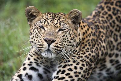 Leopard Stretching Sabi-sands Game Poster by Sergey Gorshkov