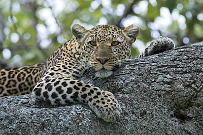 Leopard Watching From Fig Tree Poster by Elliott Neep