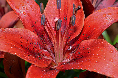 Lilly And Rain Drops Poster by Susan Leggett