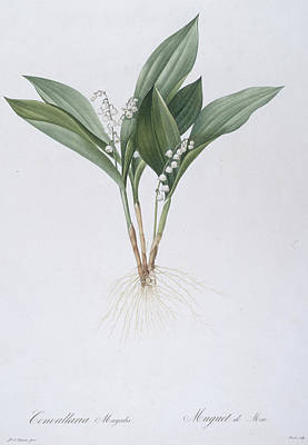 Lily Of The Valley Poster by Pierre Joseph Redoute