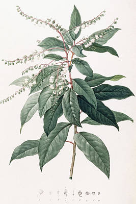 Lily Of The Valley Tree Poster by Pierre Joseph Redoute