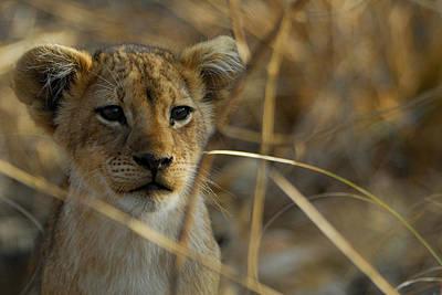 Lion Cub Poster by Stefan Carpenter