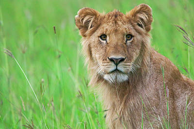 Lion In The Grass, Maasai Mara National Poster by Keren Su