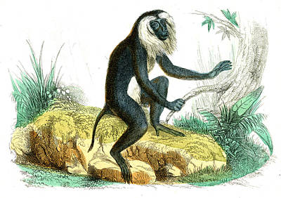Lion-tailed Macaque Poster by Collection Abecasis