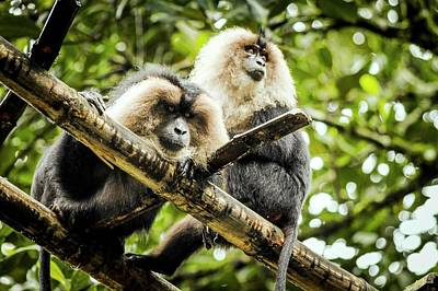 Lion-tailed Macaques Poster by Paul Williams