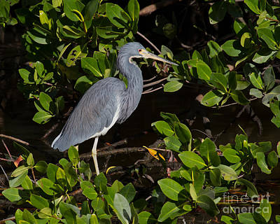 Little Blue Heron Poster by Chris Scroggins