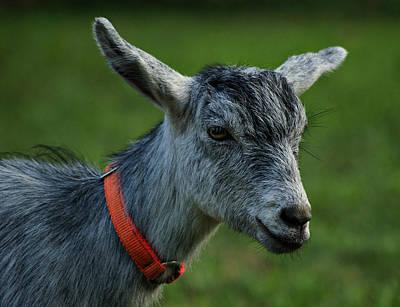 Little Goat Poster by Sandy Keeton
