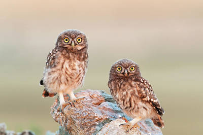 Little Owl Mating Couple Poster by Dr P. Marazzi