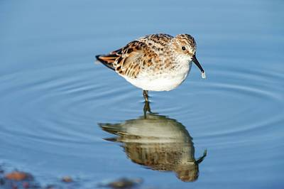 Little Stint Poster by Peter Chadwick