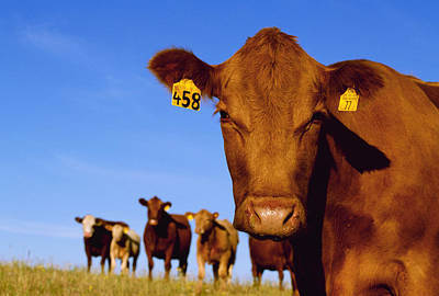 Livestock - Closeup Of A Red Angus Cow Poster by Sam Wirzba