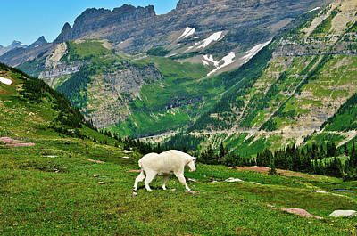 Logan Pass Mountain Goat Poster by Greg Norrell