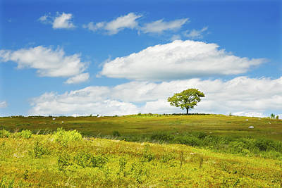 Lone Tree With Blue Sky In Blueberry Field Maine Photograph  Poster by Keith Webber Jr
