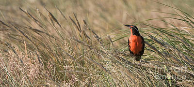 Long-tailed Meadowlark Poster by John Shaw