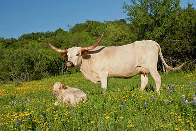 Longhorn Cattle On Central Texas Ranch Poster by Larry Ditto