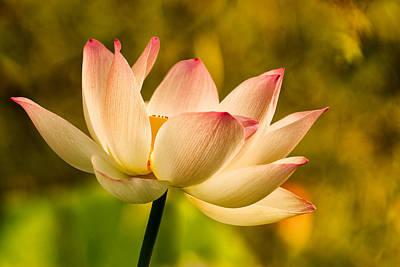 Lotus In Morning Light Poster by Rick Barnard