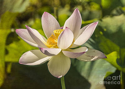Lotus Shining Poster by Terry Rowe