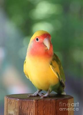 Peach-faced Lovebird Poster featuring the photograph Lovebird On A Pedestal by  Andrea Lazar