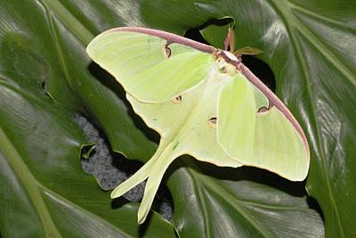 Luna Moth (actias Luna Poster by Piperanne Worcester