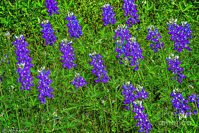 Lupine At Lake Whitney Texas Poster by Bob and Nadine Johnston